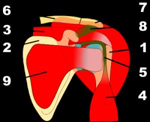 anatomie_epaule_face