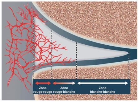 vascularisation du ménisque